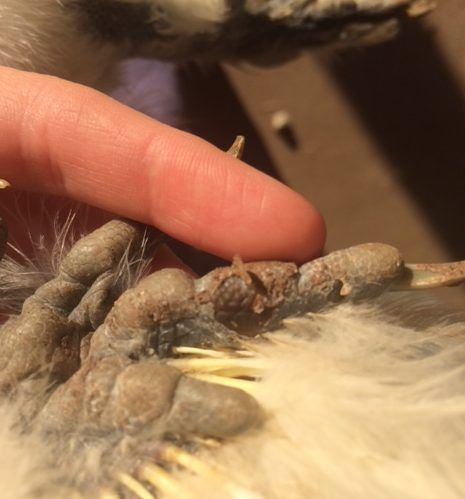 chippy99th's photos in Silkie Foot Injury