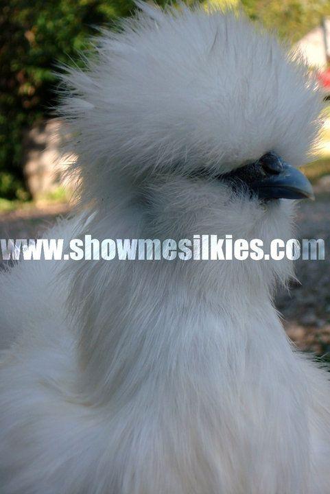 showmesilkies profile picture