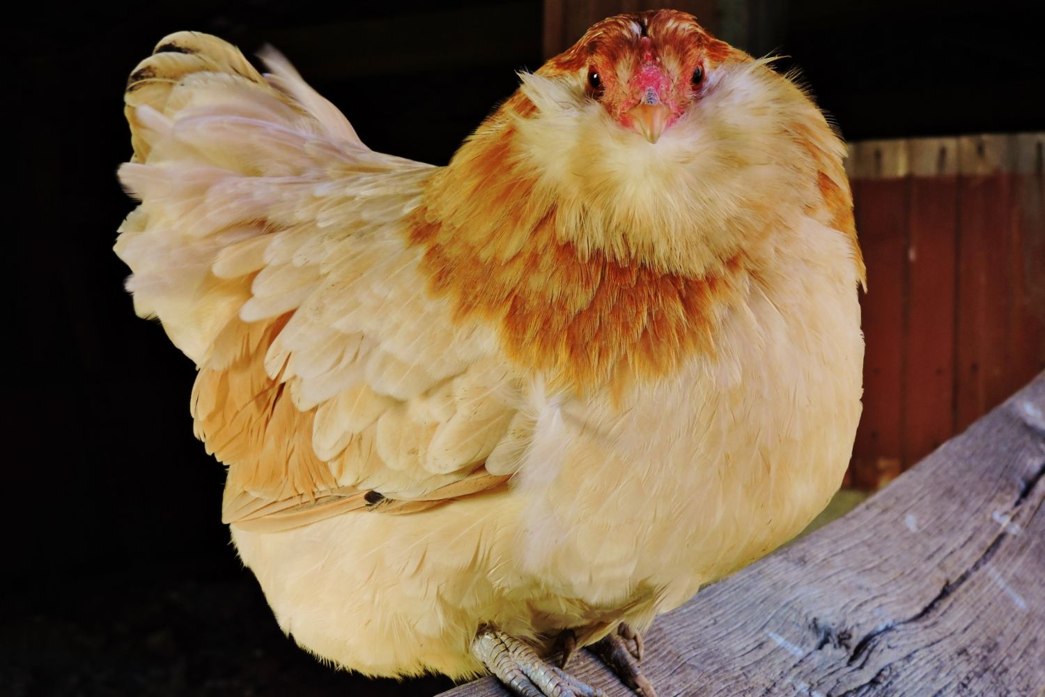 Alexandra33's photos in ~ The EXTREME chicken beard contest~ ends March