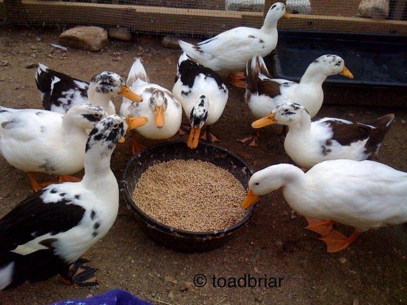 Ducks Wanted