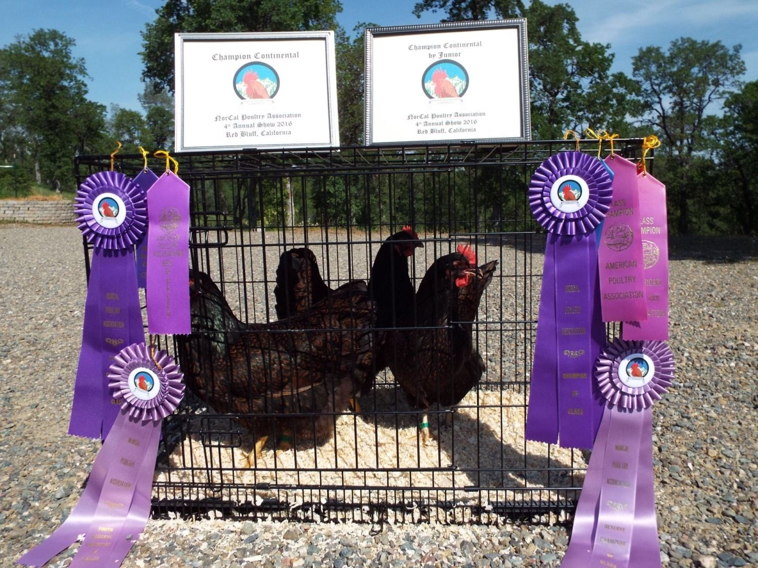 tls_ranch's photos in Chicken Breed Focus - Barnevelder