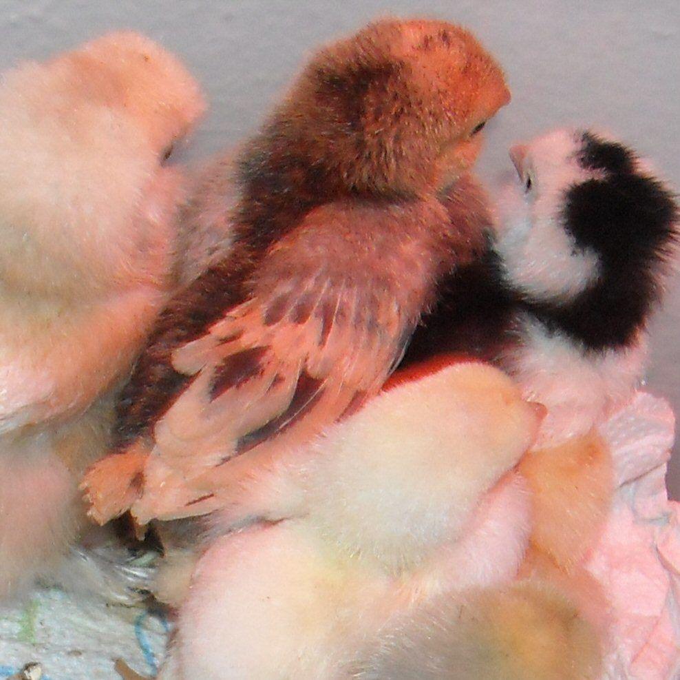 chicks 124a.jpg