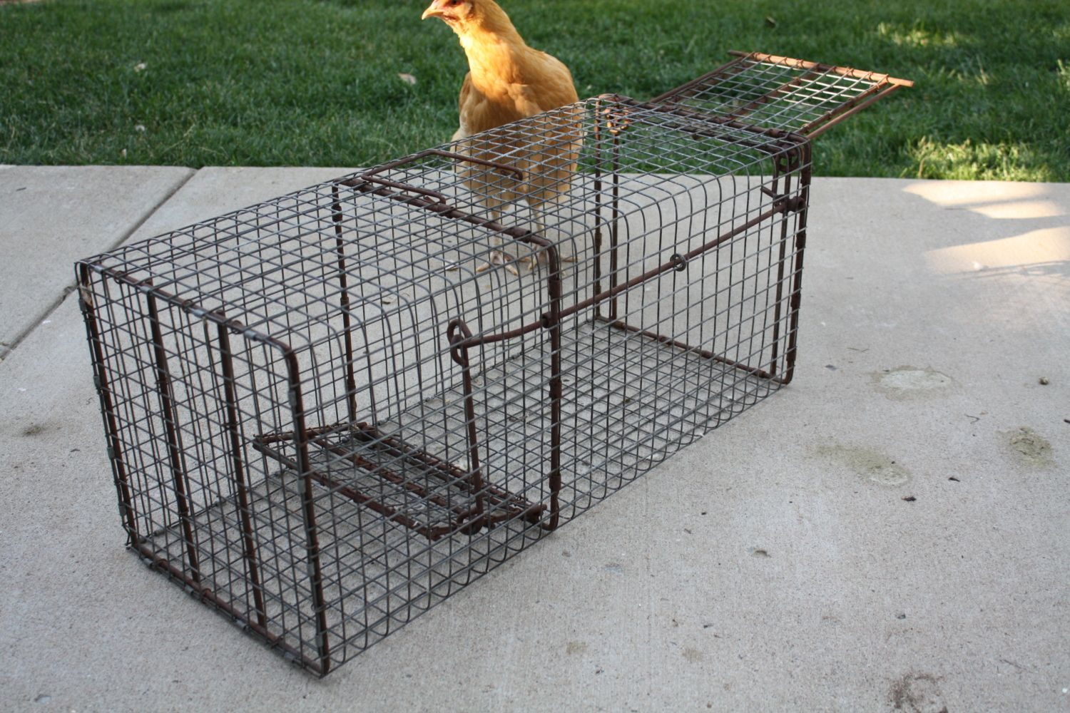how to build cage traps here is the cage trap that you want to use for