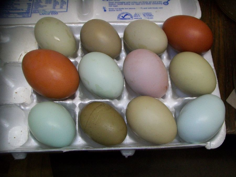BHep's photos in Just In Time Hatching Egg AUCTION and BIN Thread