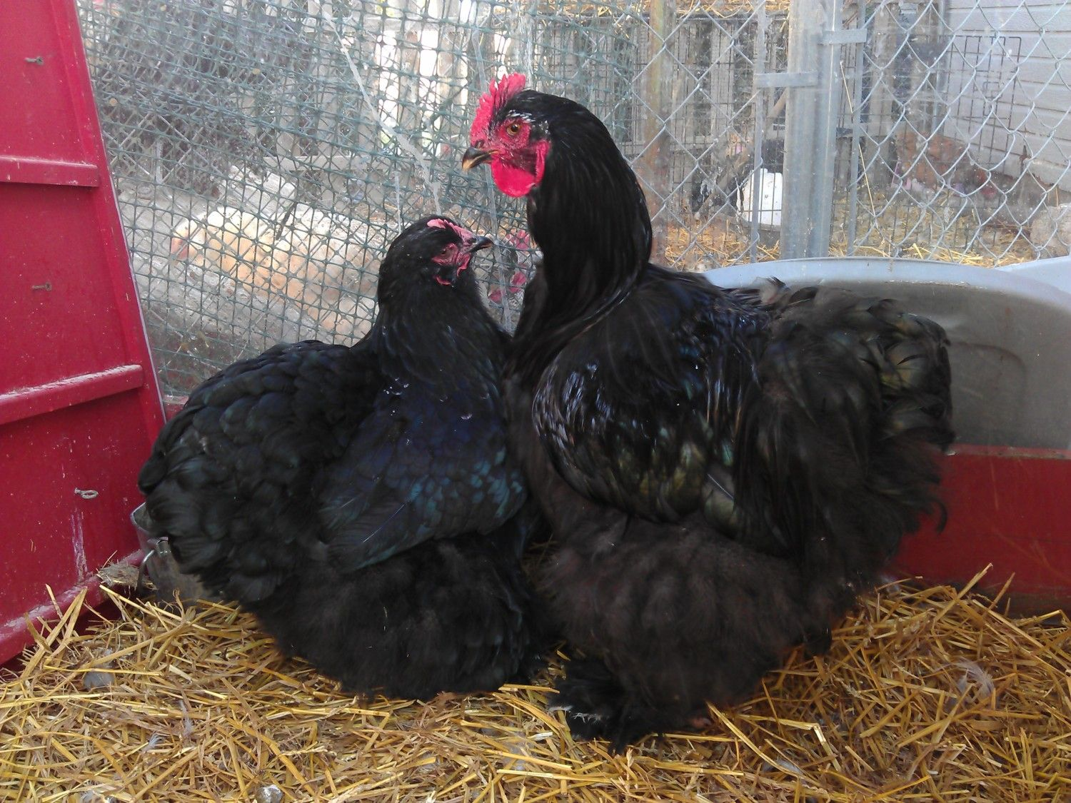 chicken fever's photos in Contest12crazypetladysshortstory