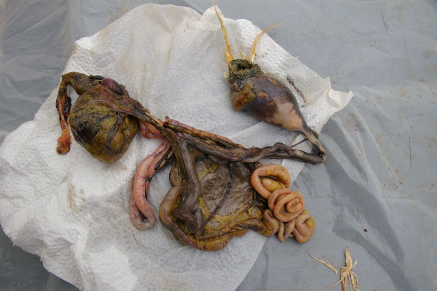 Bowel from Proventricular to bloated Cloaca.
