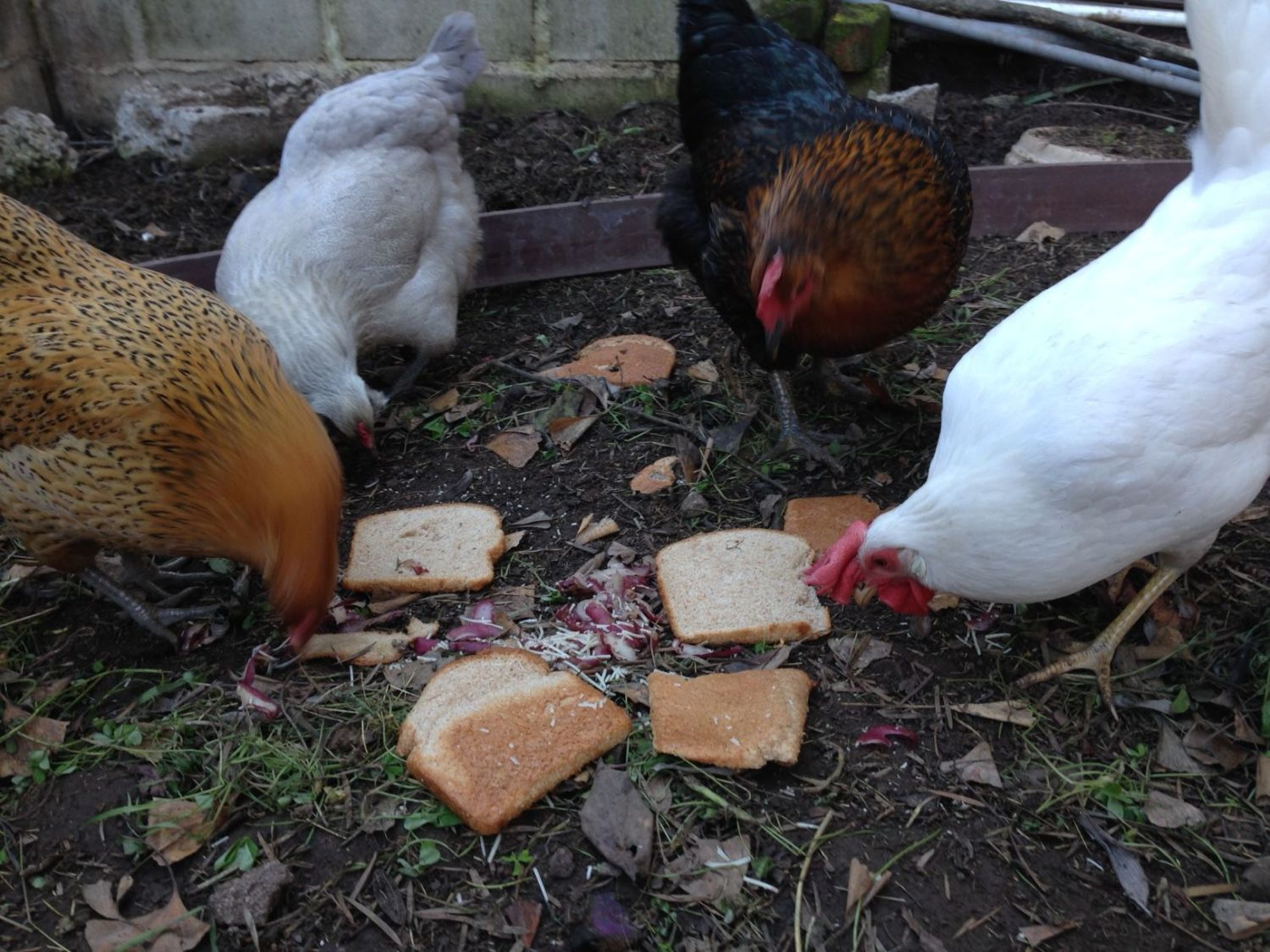 Here are Deedee and her girlfriends. There's Beatrix, an orange eater egger, Phyllis, a black star/black sexlink, and Marilyn, a white leghorn with a huge comb that covers her right eye completely. I got breeds that lay different color eggs so that I would be able to tell who laid what eggs. That has been fun!
