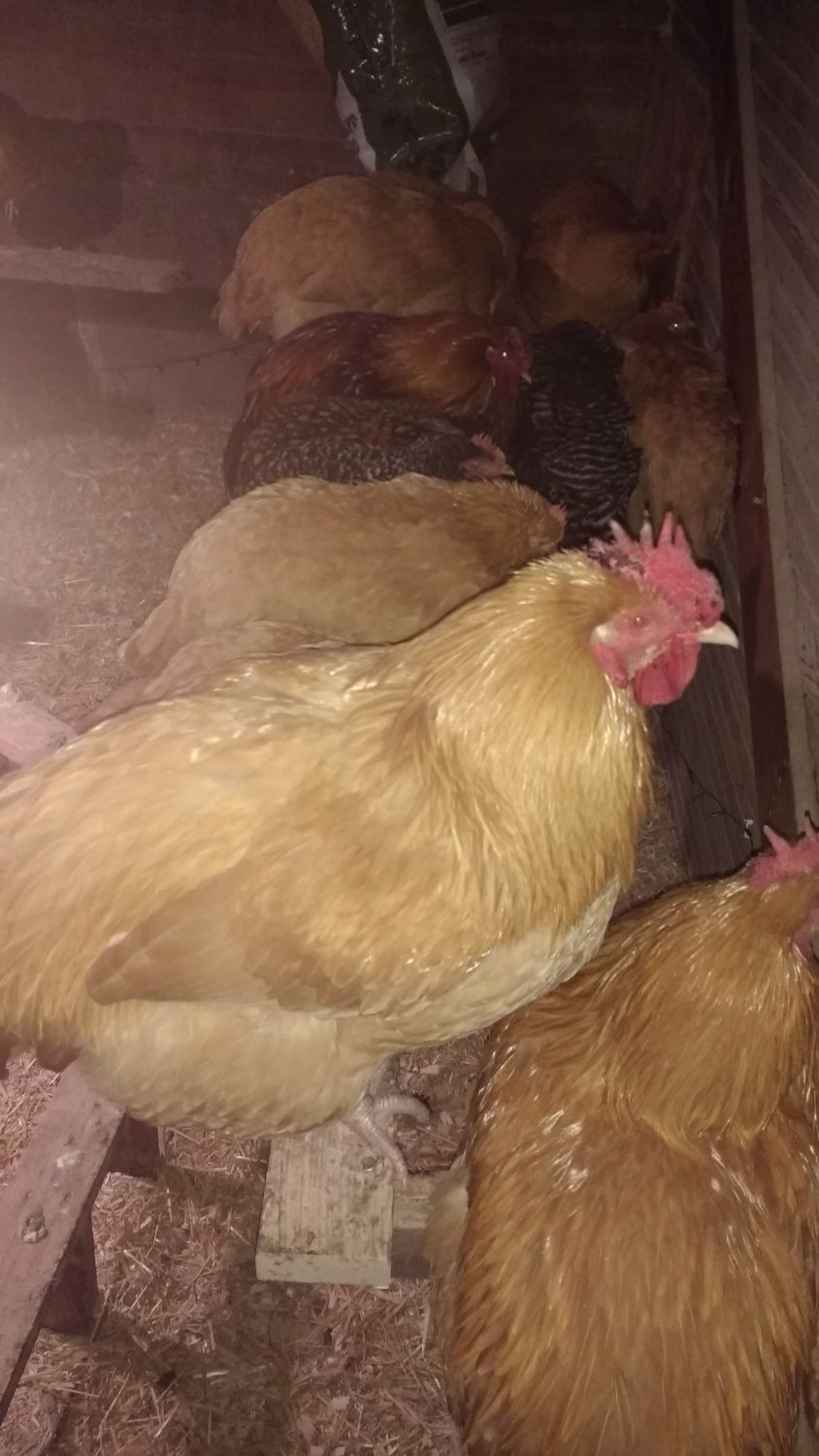 WesleyBeal's photos in Are my Chickens too cold?
