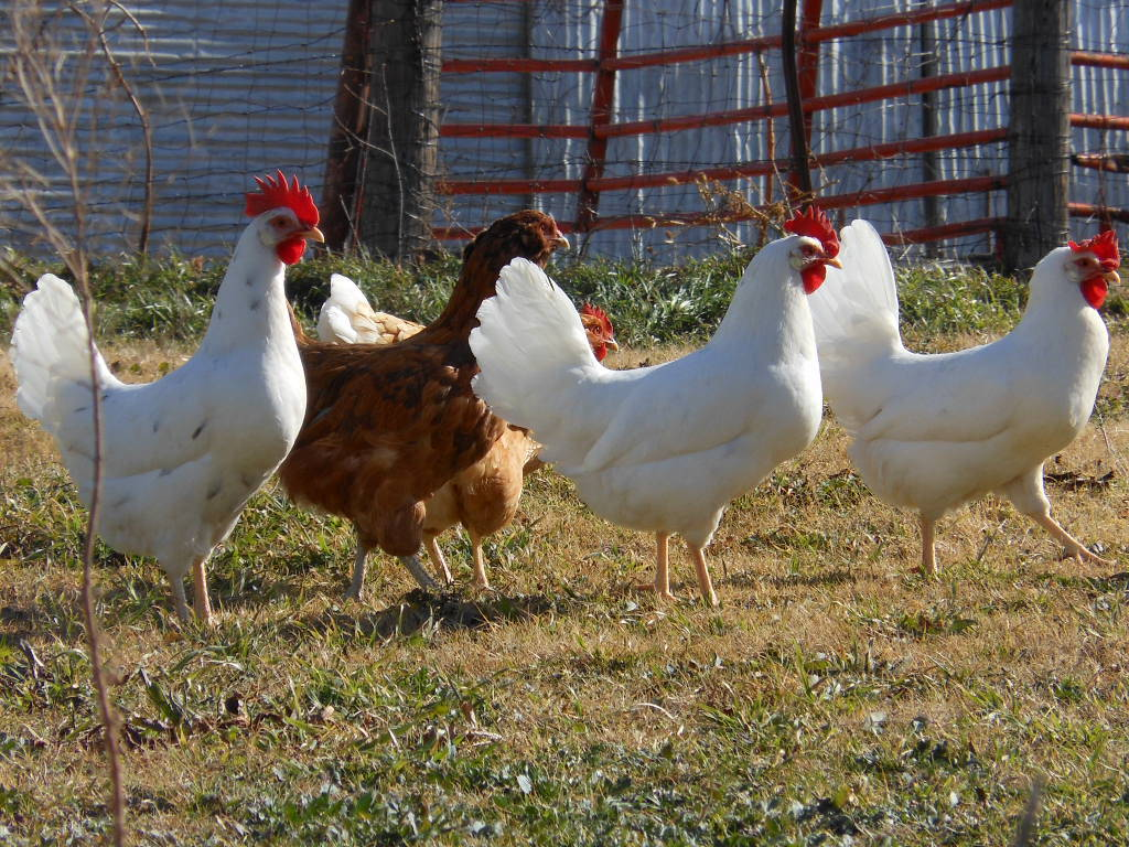Left to right: California White, Easter Egger (EE cock bird x production red hen offspring), California White, White Leghorn