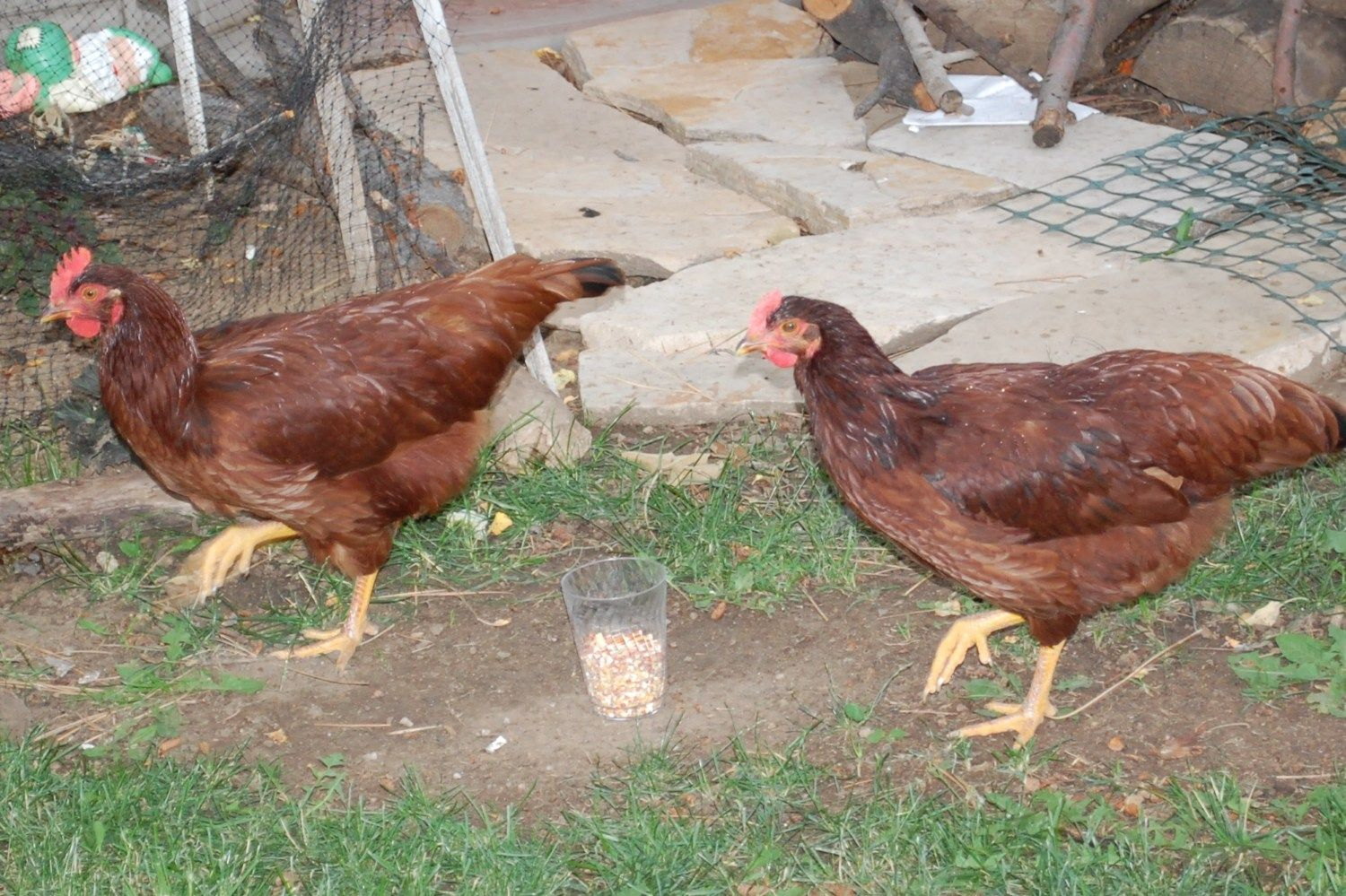 Chick_In_The_Burbs's photos in Gender Check ~ Rooster or Hen?