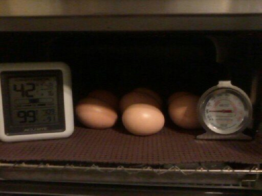 CluckAcres's photos in Help! Think I might have a incubating problem.