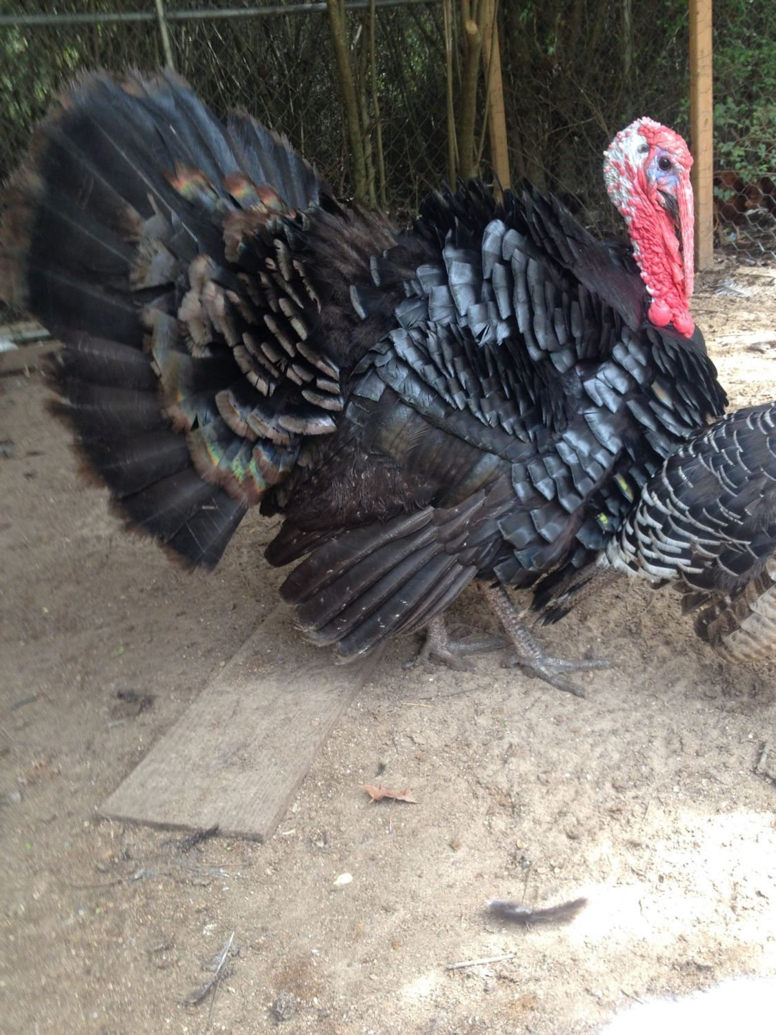 6 Month Black Spanish turkey. He is named Apache.