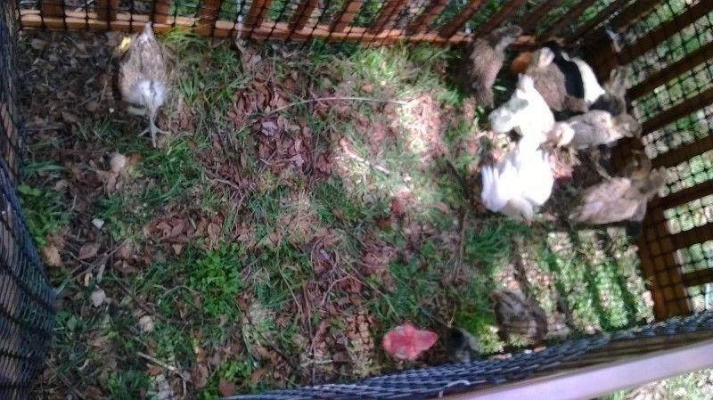 Crib outdoor chick run