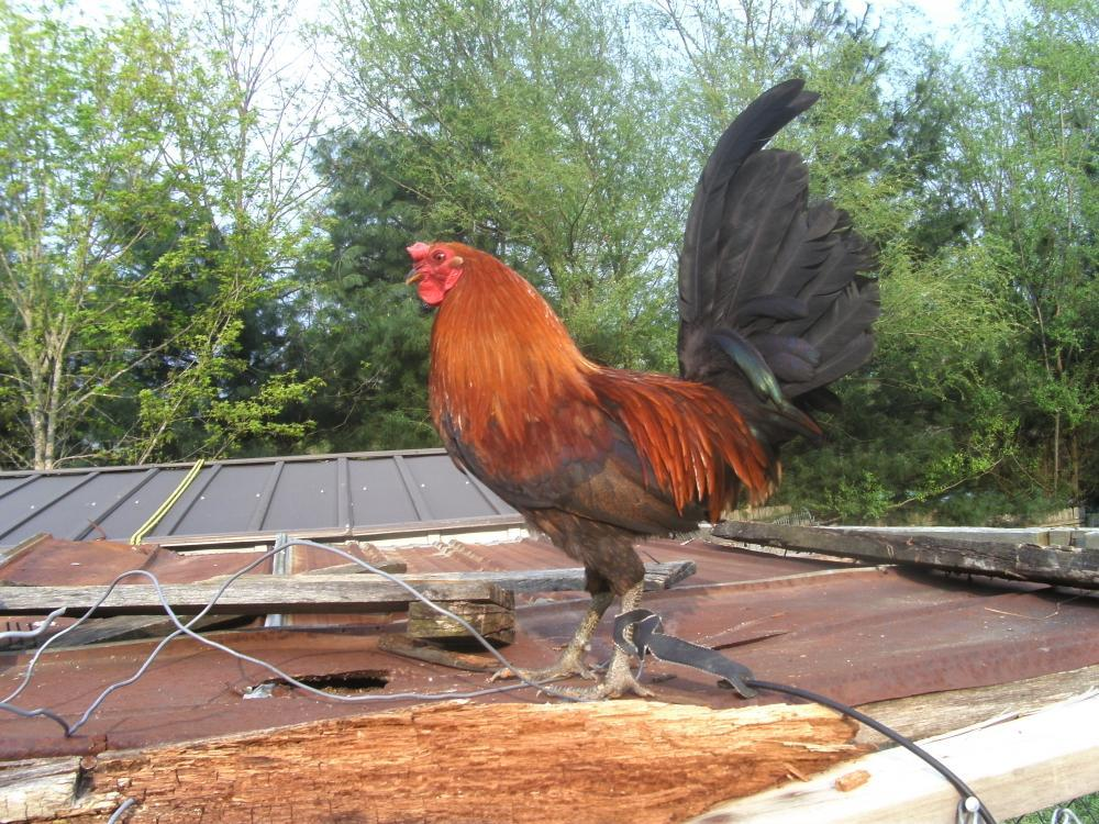 cockers today the pride of being a backyard gamefowl breeder
