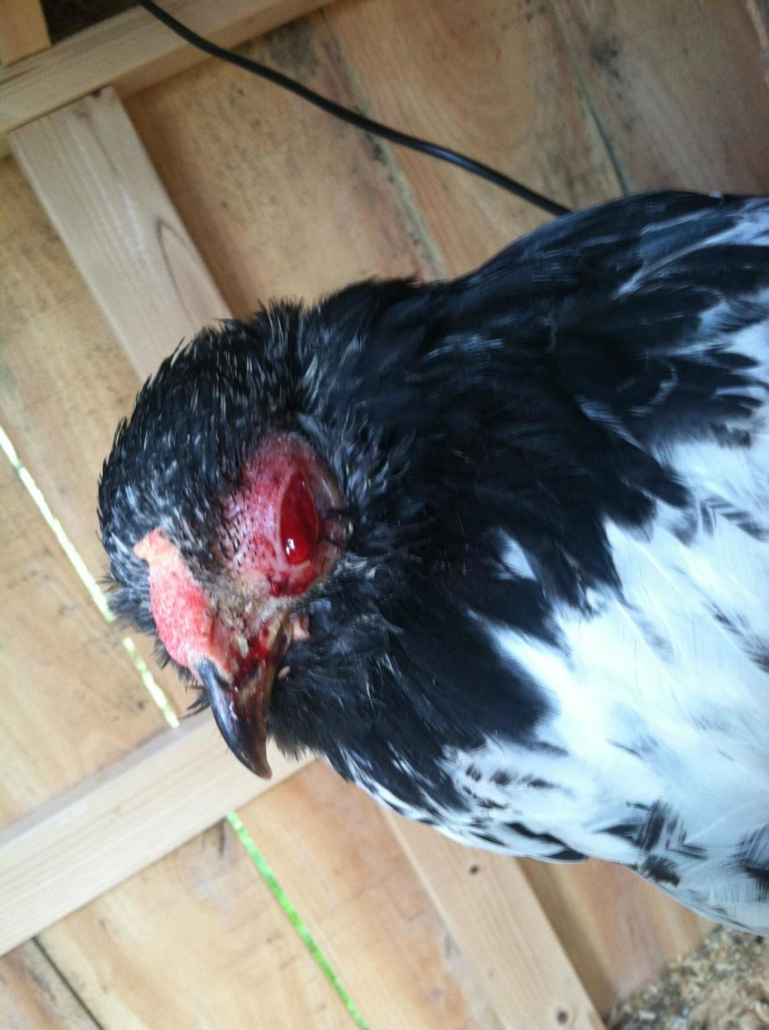 wantbantams's photos in Chicken with his eye pecked out?