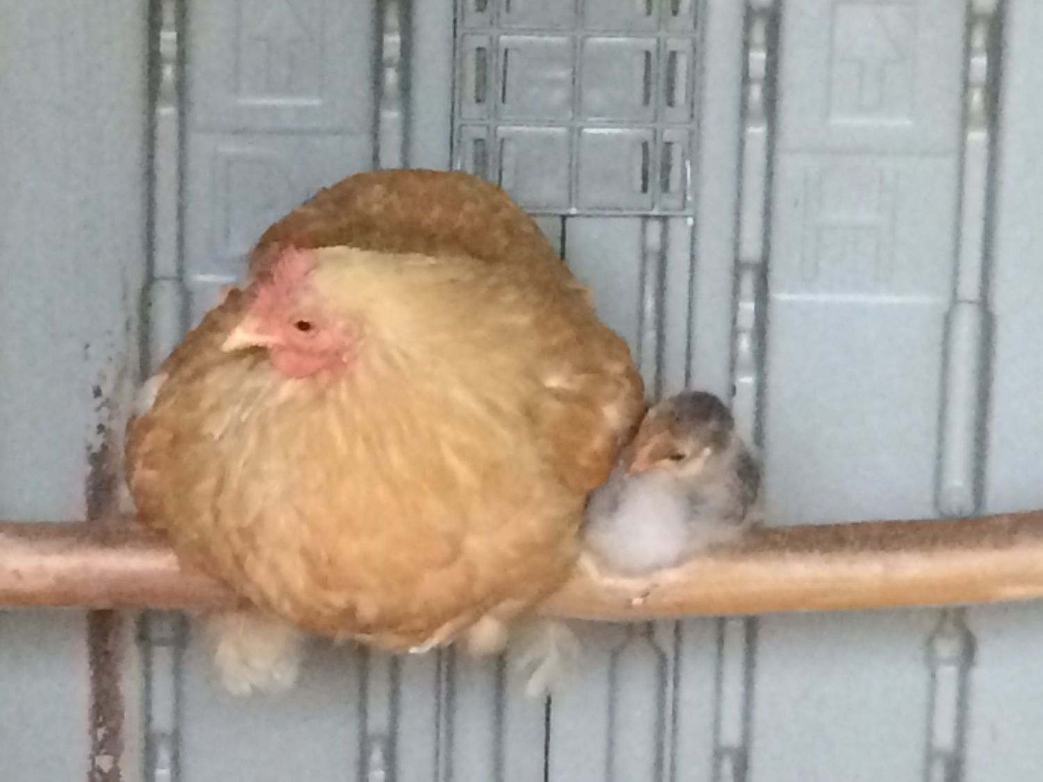 Chick on the top rung