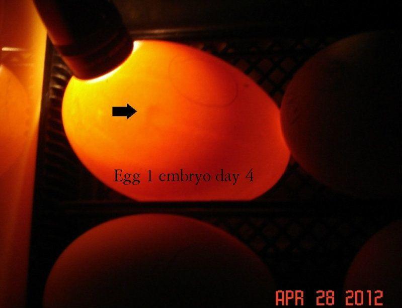 egg1day4.jpg
