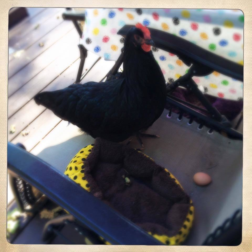 """Happy's first egg"" 24 weeks old Black Australorp 