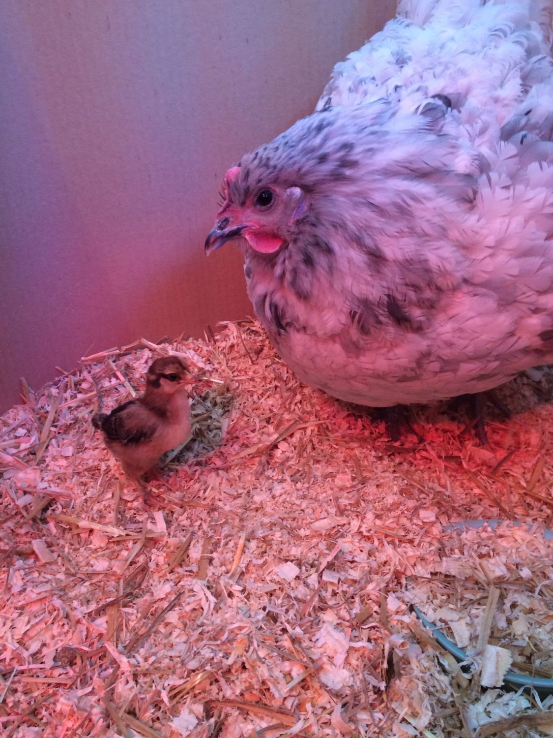chickens really's photos in Hens and temperature