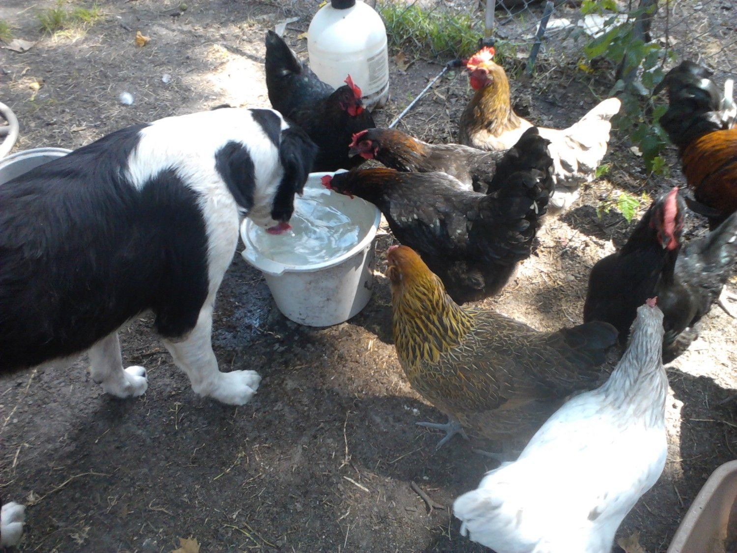 Hens, Pets and Kids.