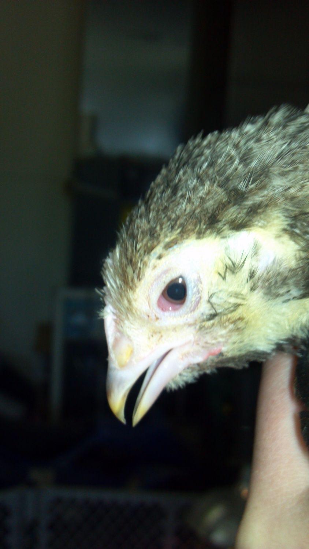 Lilslinkfarm's photos in young chicks with eye injury/illness???