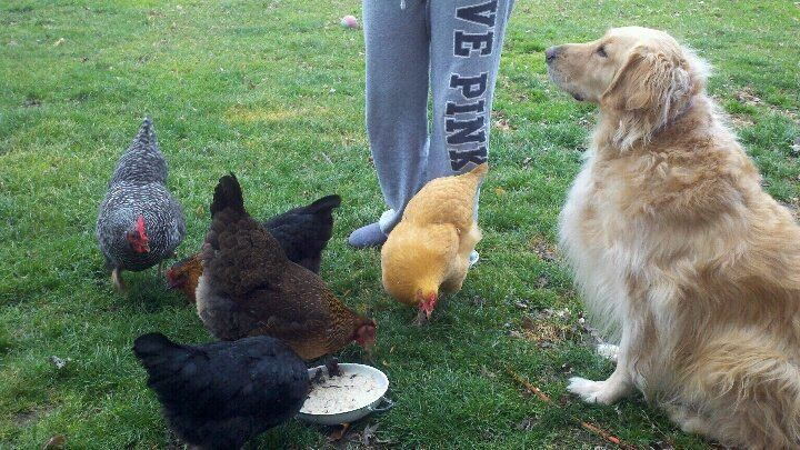Peggy-Sue's photos in Introducing dogs and chickens.....