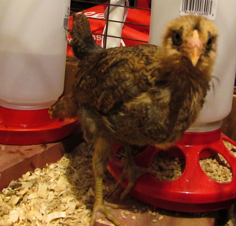 Chickie the Easter Egger.