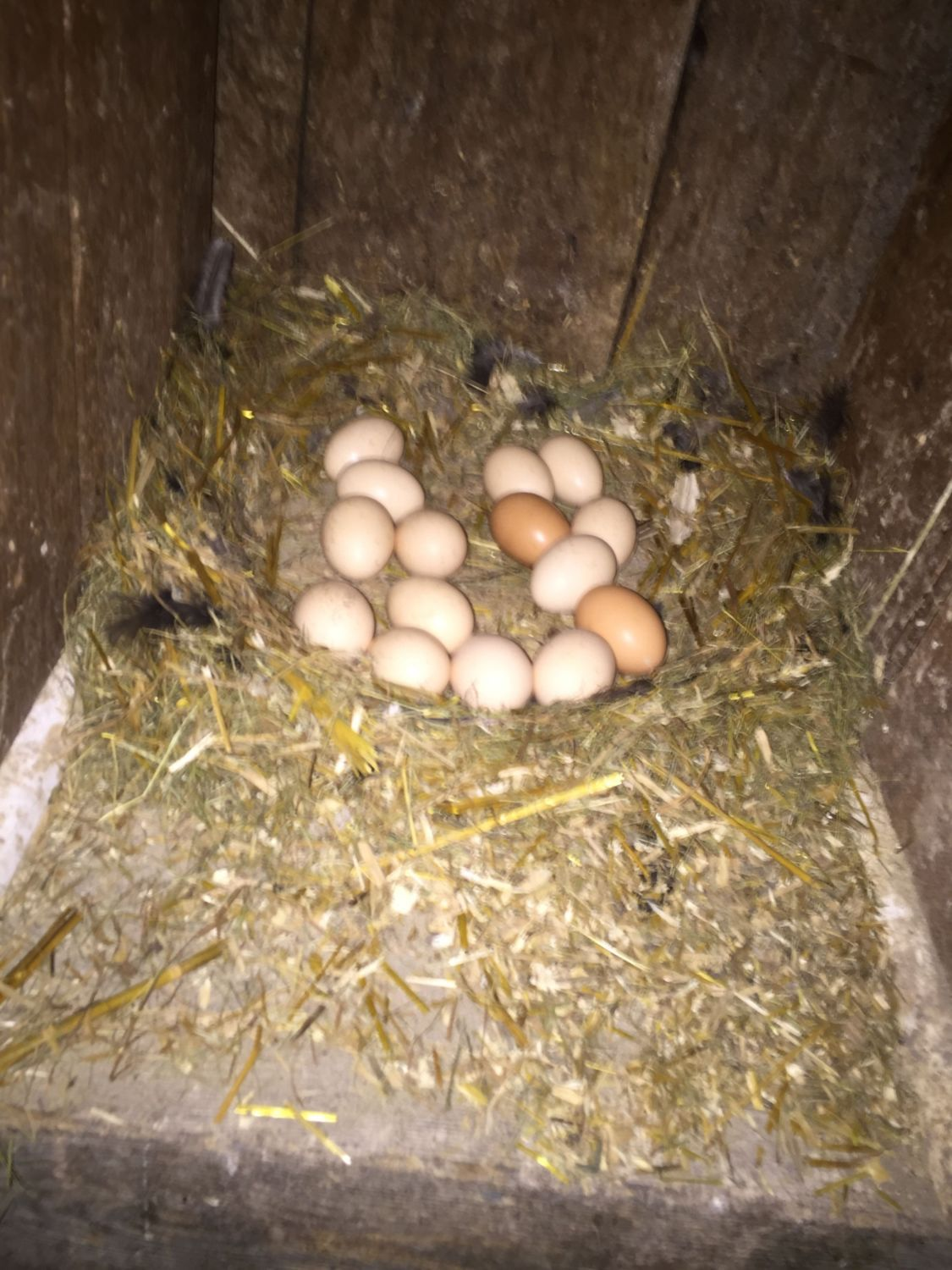 One of the broody hens abandoned her nest at day 19