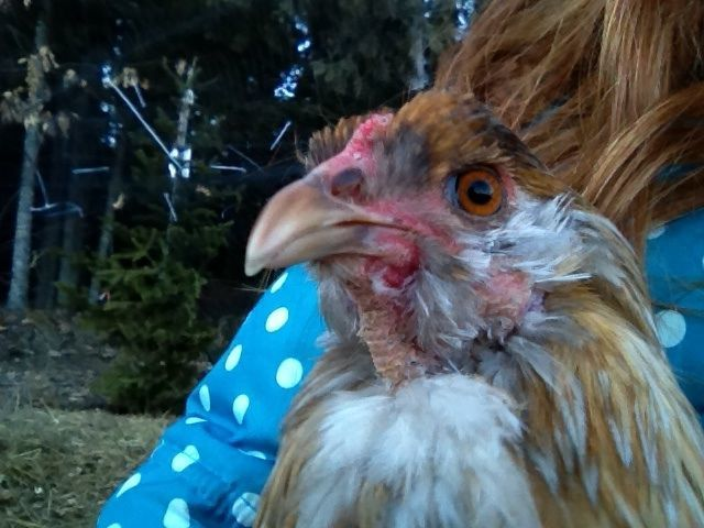 Cluckcluck1215's photos in Rooster who can't quite close beak