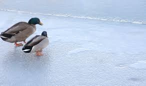 Spyderk117's photos in Need help identifying my new rescue ducks!