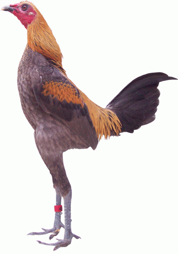 was looking up German chicken breeds for the ask blog thing ...