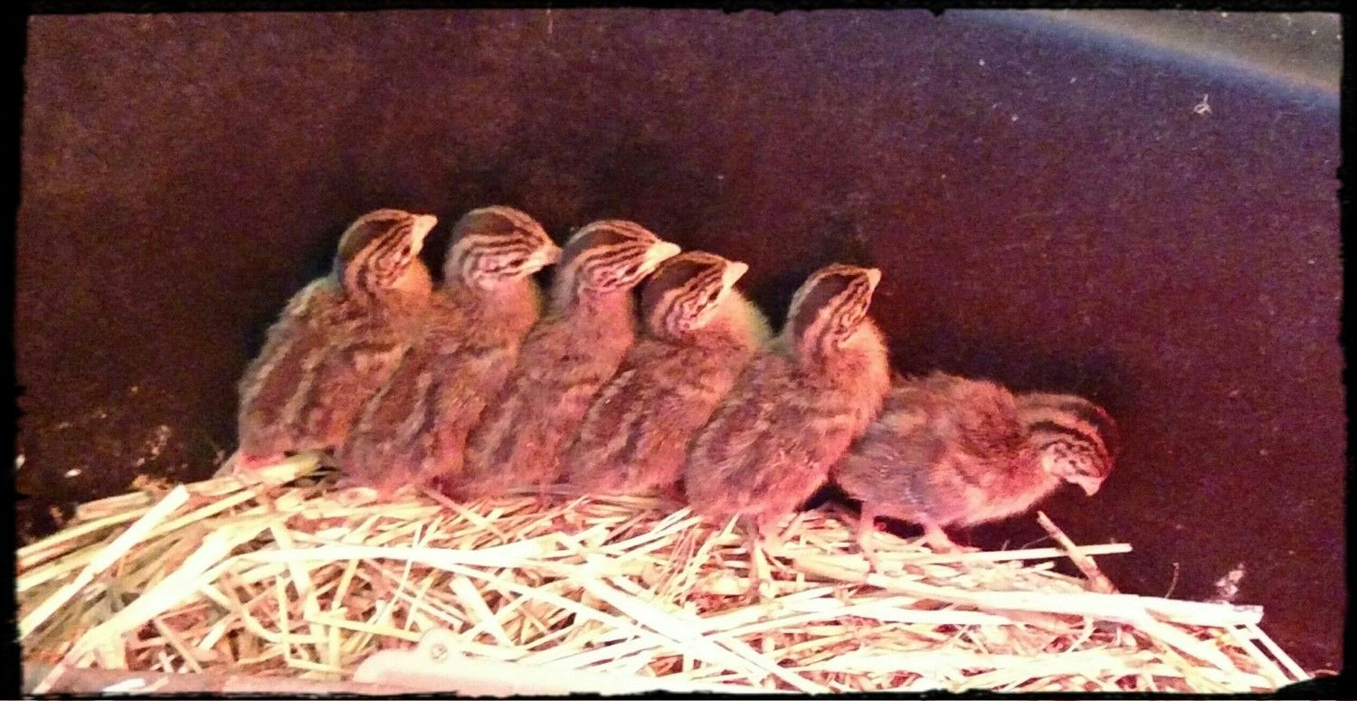 8/26/15 7 days old - Marching order