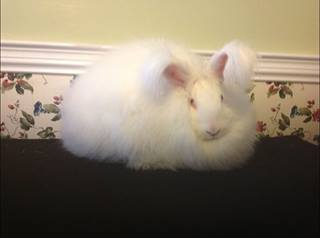 My German/French/ Giant cross Angora Chaz!  Talk about some beautiful fiber there!