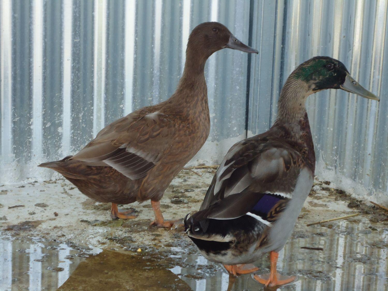 michalis6's photos in Is my duck hen mallard?