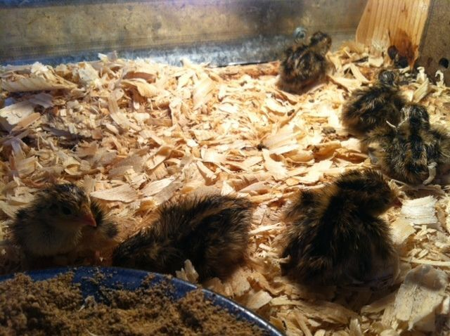 Tamrync's photos in 4th Annual BYC NYD Hatch / December online hatching egg swap
