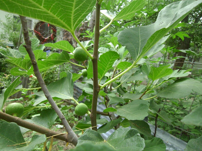 fig tree 005.JPG