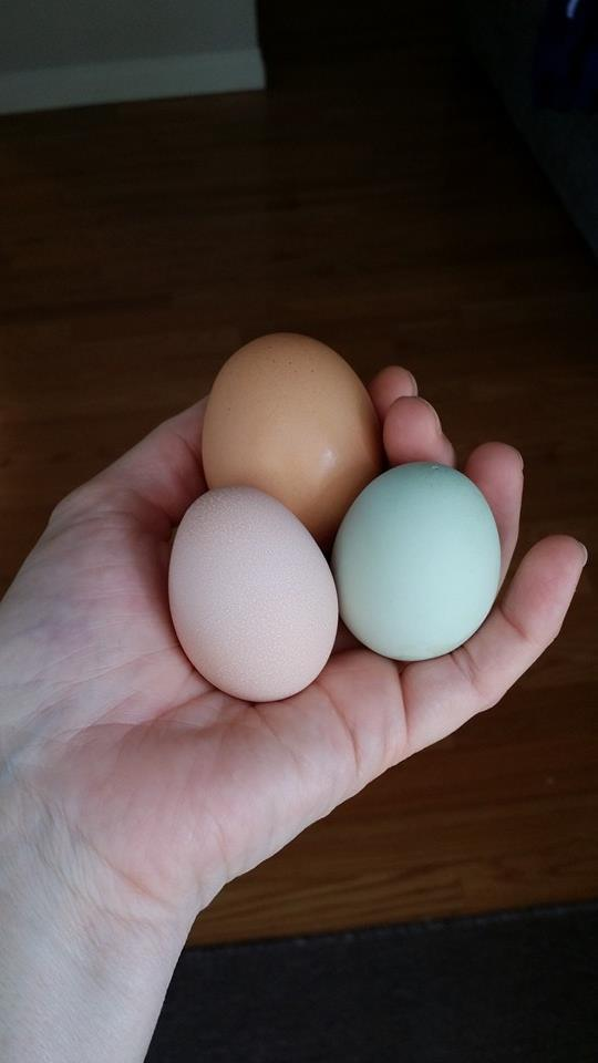 "YAY! Our 2015 ""Easter Chicks"" are have begun to lay!!!
