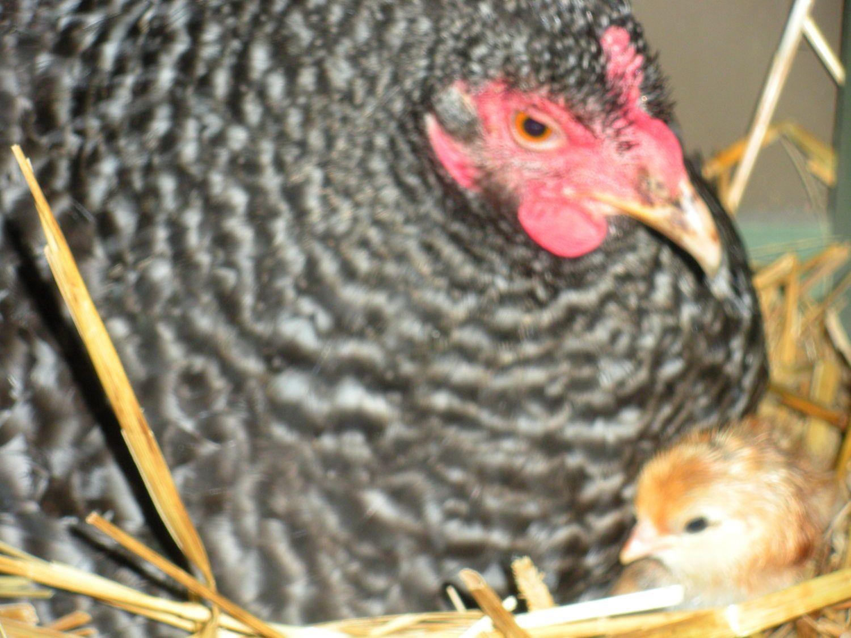 chickenlickin8 profile picture