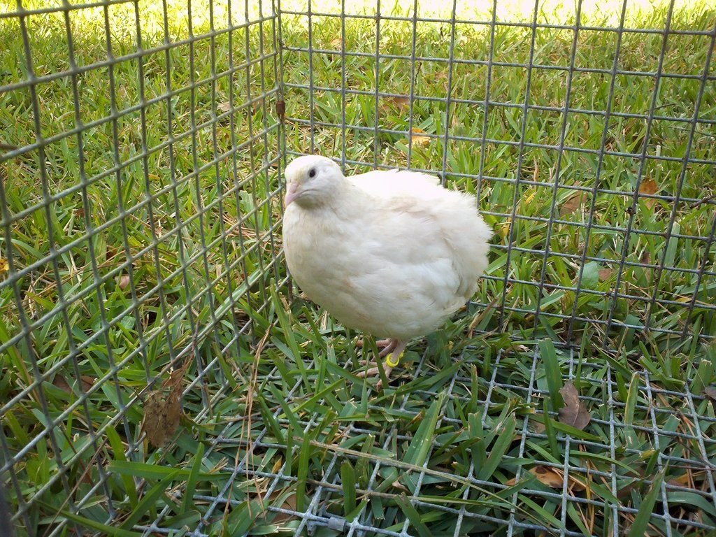 Jumbo coturnix quail - photo#18