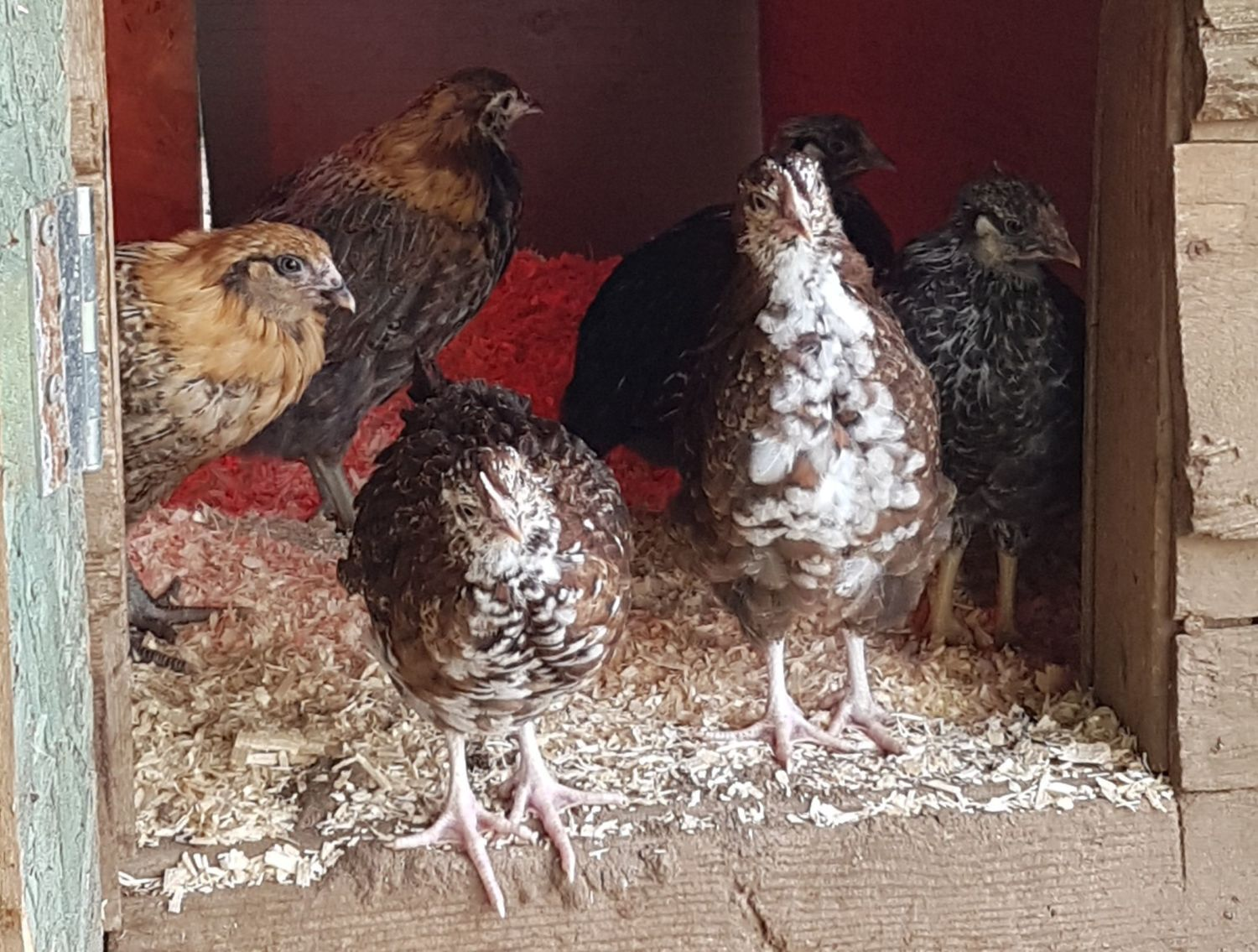 FirstTimeFlock's photos in Pullet or Roo? I've been a chicken owner for one week! Help please! Lol