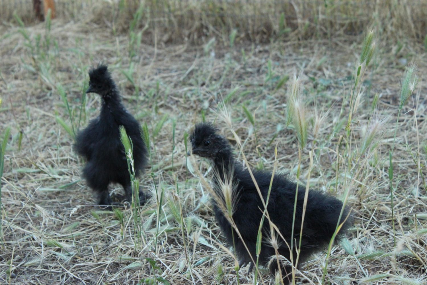 Maligator's photos in Do chickens know their breed?