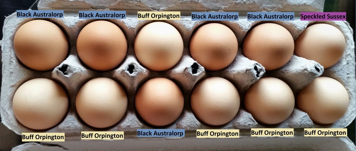 "Black Australorp ""Pearl"" - Buff Orpington ""Blondie"" - Speckled Sussex ""Dotty"""