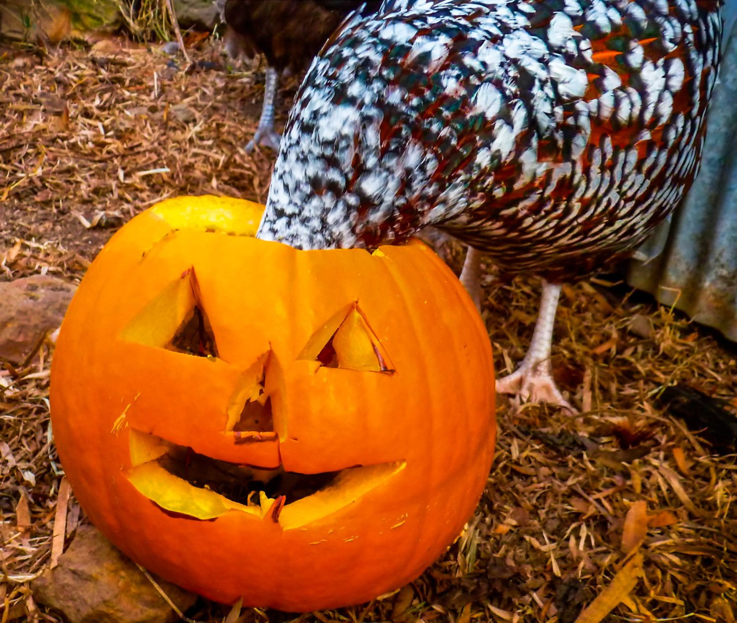 SueT's photos in FOWL Pumpkin Eating Photo Contest! Halloween Hatch-a-Long 2016 w/ Hosts, Mike, Sally & BantyChooks