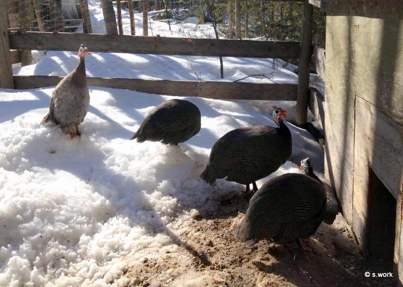 RavenWood's photos in Raising Guinea Fowl 101