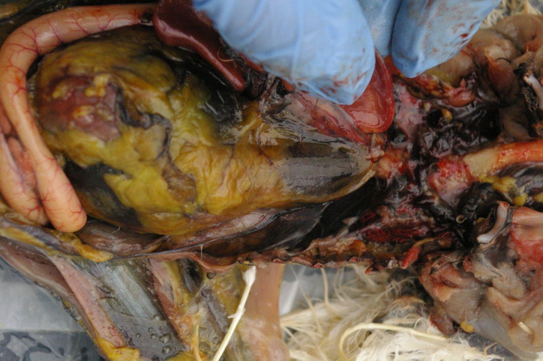 Spleen by my fingers ( dark pink sac)