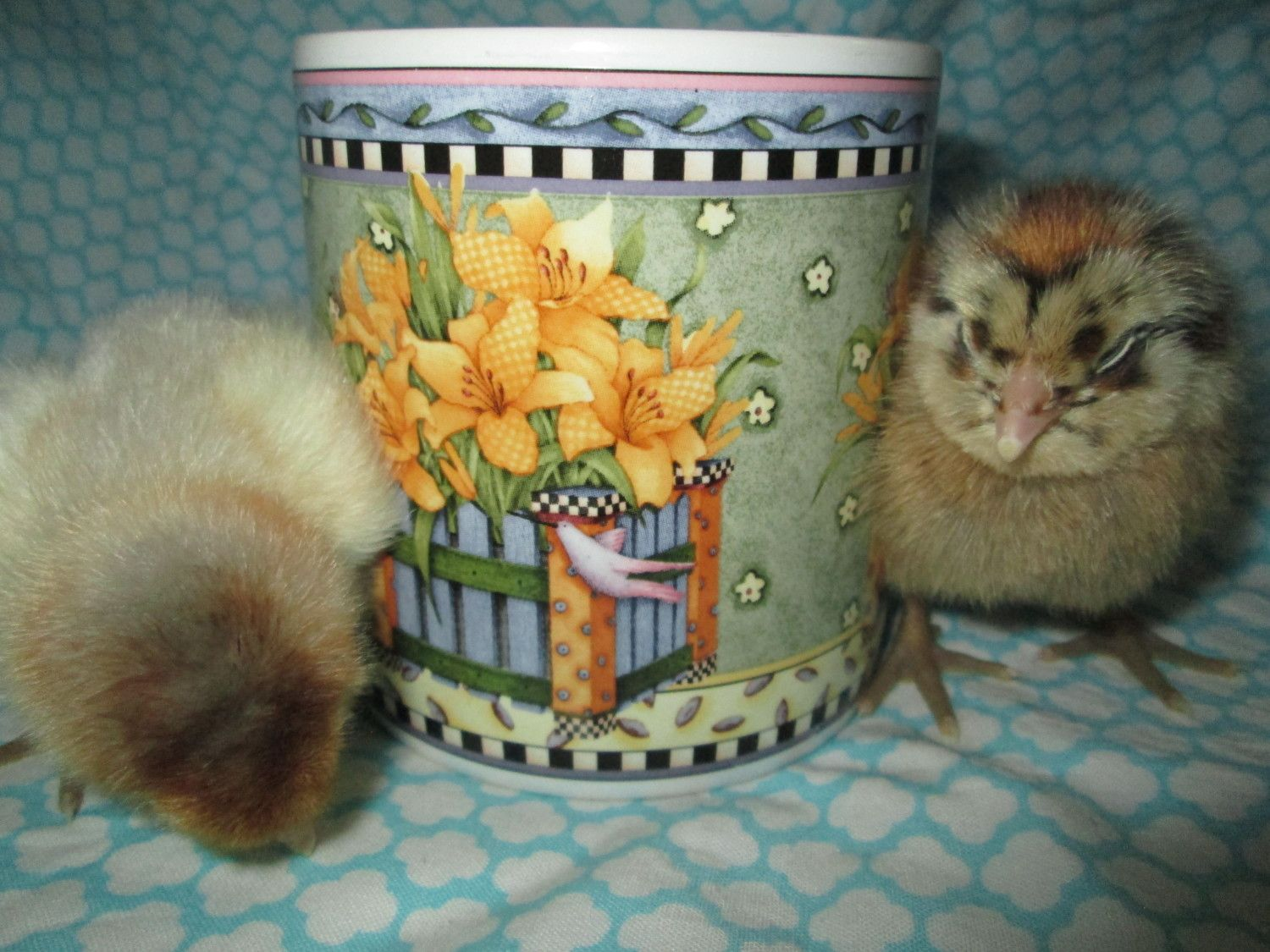 Cynthia12's photos in Chick Mug Shots a Contest thread for participants of the Springing in the Chicks Hatch A Long