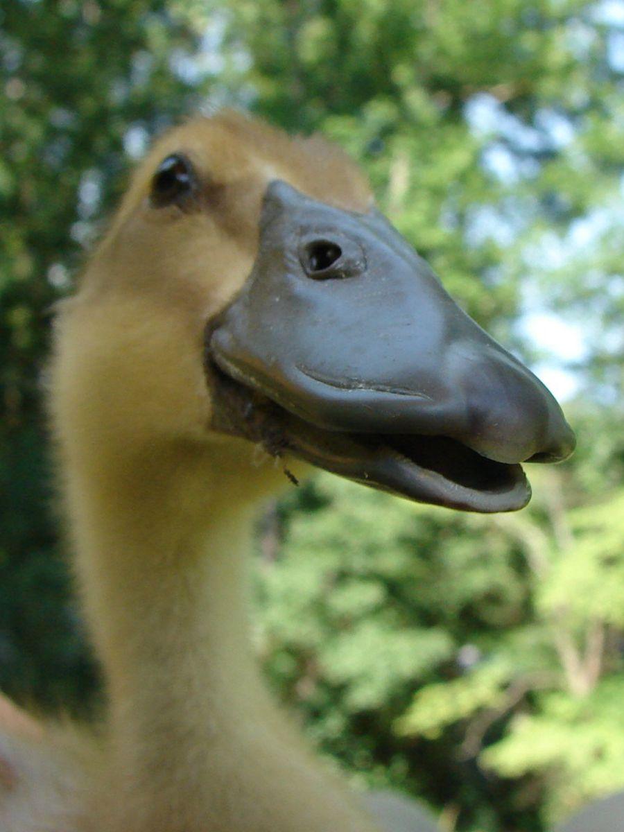 Larch says quack.