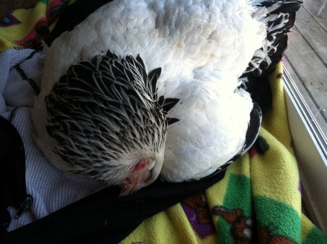 wantbantams's photos in Sick Hen :( PLEASE HELP ME :(