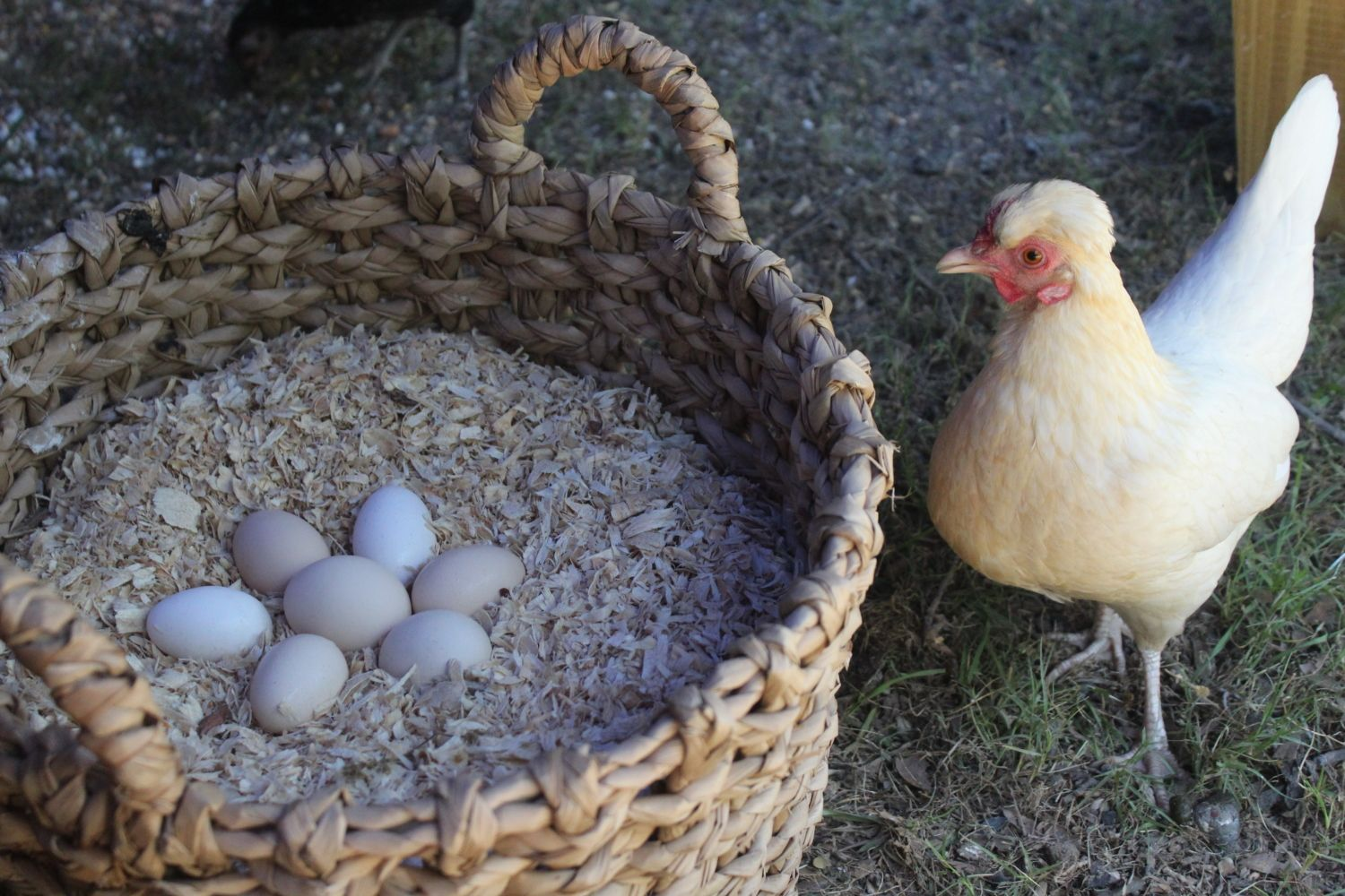 Pearl and her eggs