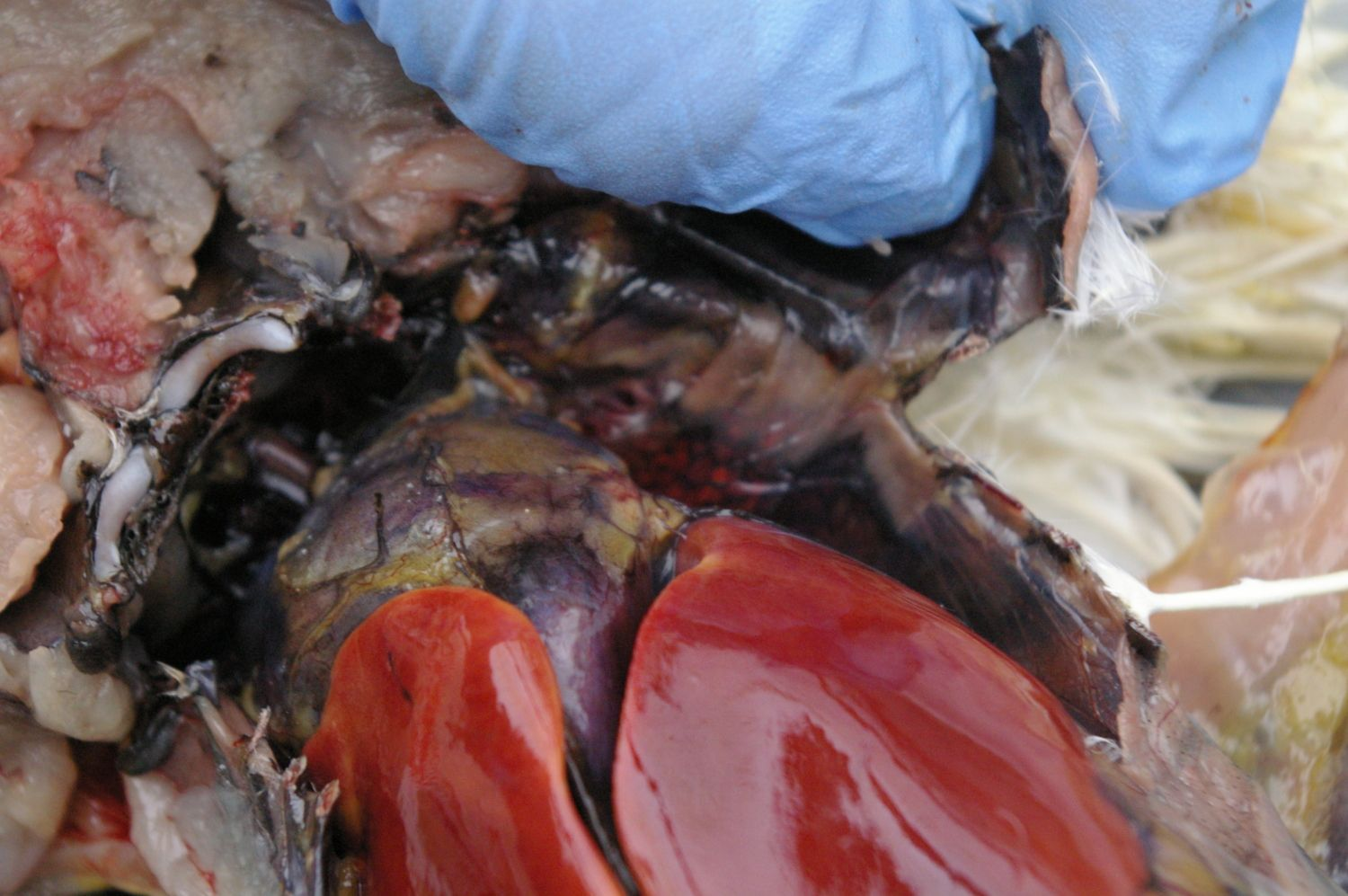 Red marbled area under my finger is the left lung. Heart and liver visible